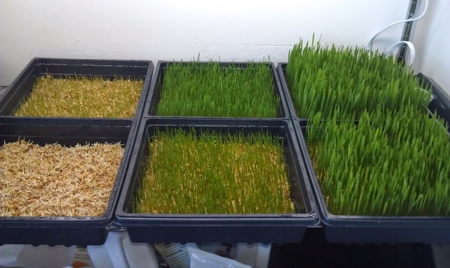BY Wheat Grass Growing Various Stages