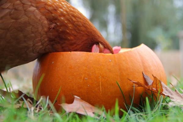 chicken eating a pumpkin