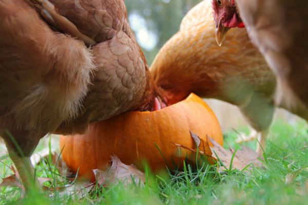 chickens eating a pumpkin